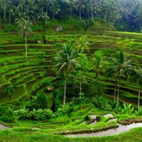 Tegalalang Rice Terrace 1